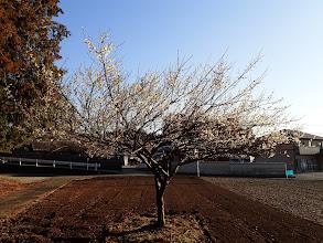 梅が咲いて