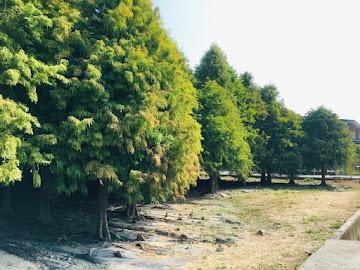 台南六甲 落羽松森林