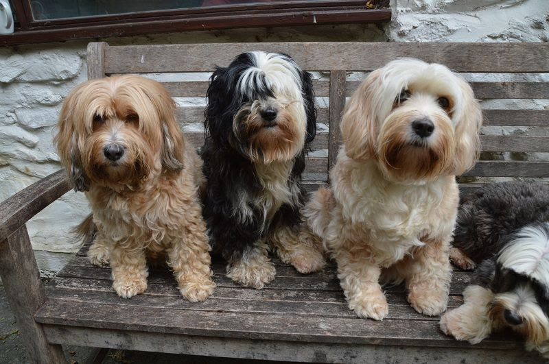 Tibetan Terrier price range. Tibetan Terrier puppies for sale cost