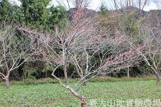 Photo: 拍攝地點: 梅峰-梅園 拍攝植物: 梅(唐梅) 拍攝日期:2013_01_07_FY