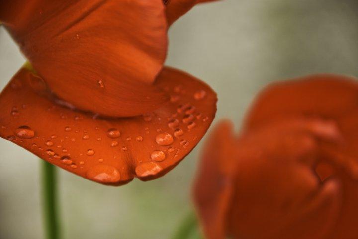Tulipani bagnati di Zapperz