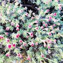 Red thymeleaf buckwheat