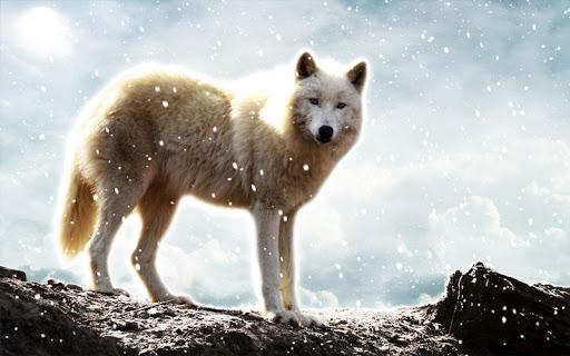 玩免費生活APP|下載白狼生活壁紙 app不用錢|硬是要APP