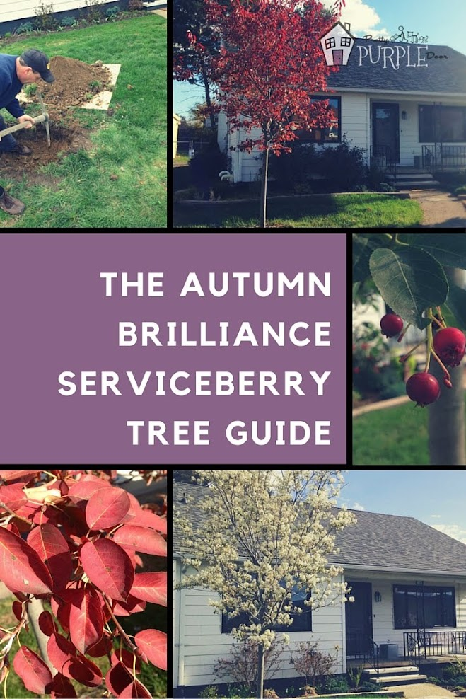 The Autumn Brilliance Serviceberry tree boasts 4 season interest