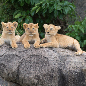 Pride Rock by Hilton Kotze - Animals Lions, Tigers & Big Cats ( mammals, lion, animals, pwcbabyanimals, wildlife, predator, carnivore, environment, nature, conservation, {panthera leo}, africa, safari animals )