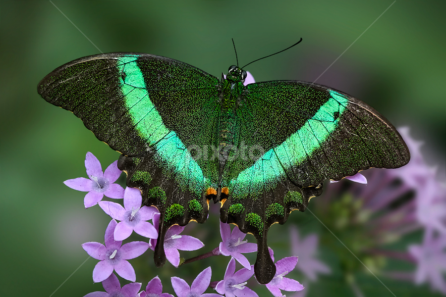 Swallow Tail by Imran Khan - Animals Insects & Spiders