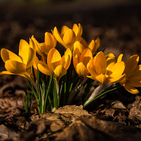 Spring Crocus's by Mike Hayter - Flowers Flowers in the Wild ( petals, crocus, depth of field, green shoots, yellow, leaves, spring )
