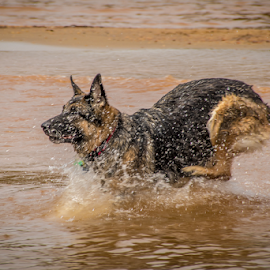 On the Run by Myra Brizendine Wilson - Animals - Dogs Running ( pets, german shepherd dog, german shepherd, nc, dogs, gsd, canine, dog, pet )