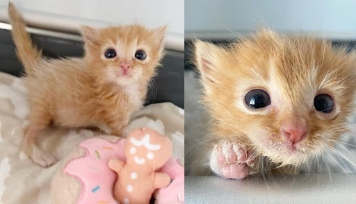 Kitten Left Behind After Birth Triumphs with Help of Family and Strong Will to Live
