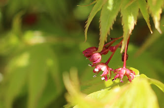 Photo: Other Japanese maple, flowers opening, leaves moist and fresh.