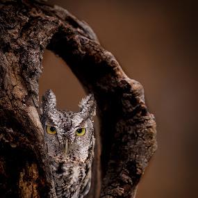 Screech Owl by Chris Martin - Animals Birds ( birds of prey, animals, screech owl, owl, wildlife, birds, owls,  )