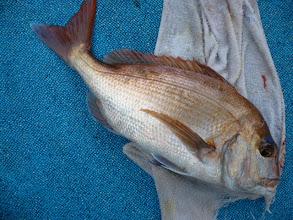 Photo: やったぜー!3kg近い真鯛でしたー。