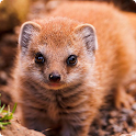 Mongoose live wallpaper icon