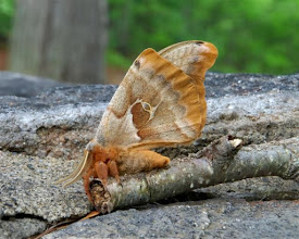 Photo: Moth at Ricker Pond State Park by Linda Carlsen-Sperry.