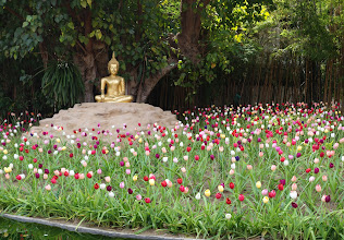 Photo: Tulips in bloom in Thailand