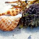Atlantic Partridge Tun (shell)