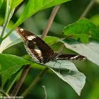 Hypolimnas bolina 幻紫斑蛺蝶