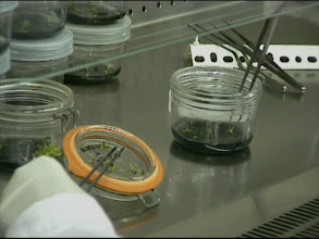 Photo: Umsetzen in sterile Gläser / Sterile replanting in jars. Video: S. Hartmeyer.