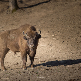 King by Calin Mirisan - Animals Other ( aurochs, field, nature, romania, wild, life )