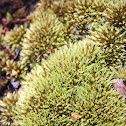 Pincushion moss