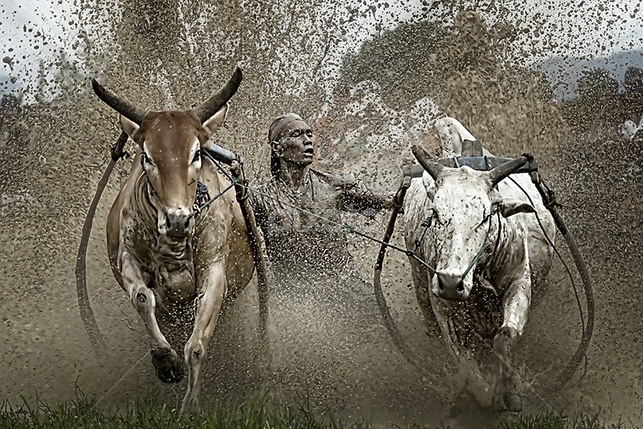 Extreme Frontal by Fauzan Maududdin - Sports & Fitness Other Sports ( batusangkar, pacujawi, padang, west sumatera, culture, bull-race )