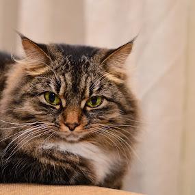 by Mareli Victor - Animals - Cats Portraits (  )