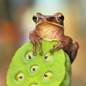 'Top of the world' by Lessy Sebastian - Animals Amphibians ( frog, cute, top )
