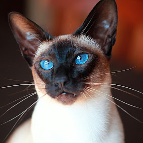 Siamese by Deb Thomas - Animals - Cats Portraits ( cat, siamese, seal point,  )