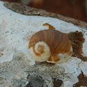 Green garden snail (σαλιγκάρι μουρμούρα)