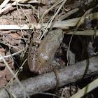 Southeastern chorus frog
