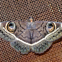 Emperor Moth