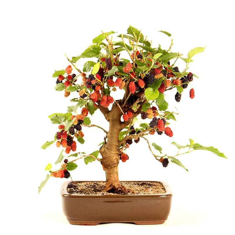 Árvore de bonsai amora