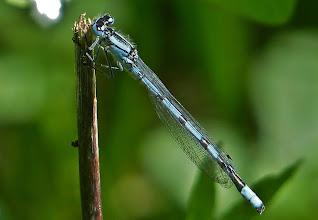 Photo: Hufeisen-Azurjungfer (Coenagrion puella), männlich