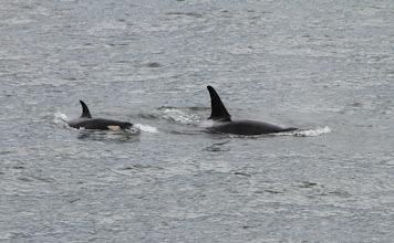 Photo: Orcas..von der Fähre aus