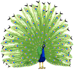 Peacock Images Icon