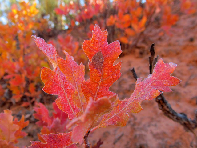 Melted frost on oak brush leaves
