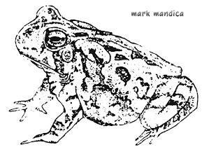 Photo: Bufo fowleri | Fowler's toad