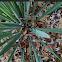 Sisal plant