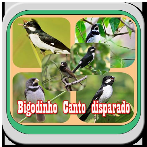CANTO DE BIGODINHO BAIXAR PASSAROS