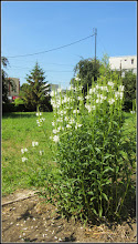 """Photo: Lumânărica albă (Verbascum 'Temptress White' ) - de pe Calea Victoriei, Mr.3, parcul Bisericii Ortodoxe """"Invierea Domnului""""  - 2017.06.21"""