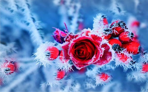 Roses Snow Winter Live wallpaper - náhled