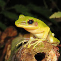 The Copper-Cheeked Tree Frog