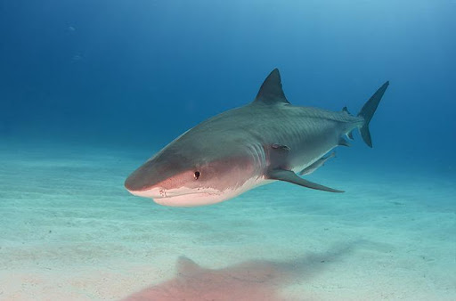 Sharks, lies, and videotape: Scientists document problems with Shark Week