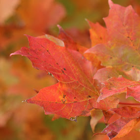 Fall Leaves  by Leelamohan Anantharaju - Nature Up Close Leaves & Grasses ( fall leaves, fall colors, foilage,  )