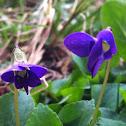 Common wild violet