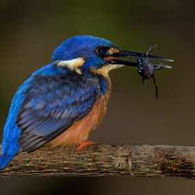 Azure Kingfisher with Tadpole Catch by Mick McKean - Animals Birds ( azure kingfisher, queensland, plants, feeding, coraciiformes, maleny, birds, rainforest, tadpole, mary cairncross scenic reserve, ceyx azureus, blue, neognathae, australia, age, branch, eating, buff, perching, kingfishers, azure, alcedinidae,  )