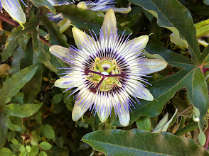 Photo: Passiflora incarnata