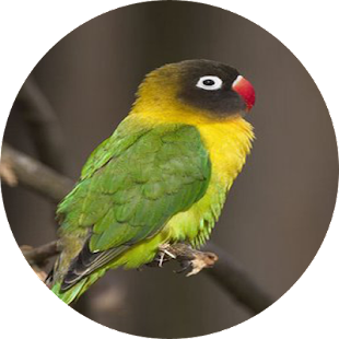 Download Lovebird Ngekek Panjang Apk 1 0 Com Ngekekbae Piss1 Allfreeapk
