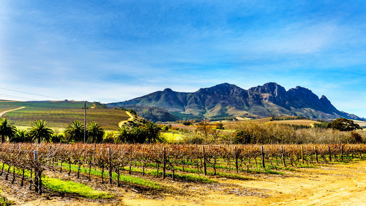 Vineyards in the wine region of Stellenbosch in the Western Cape of South Africa with Simonsberg in the background. File photo.