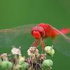 Scarlet skimer